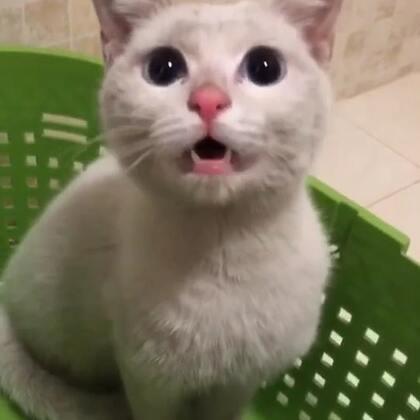【Gu猫今日救助】这只猫猫是在汽车排气管里好心网友救出的。猫猫后腿骨折。目前还不知道是旧患还是才发生的。春节医院都放假了只有明天早上带去医院看看。小家伙饿极了。成都的今天挺冷的。饥寒交迫。一直嚎叫。惊慌害怕。直到吃饱了才安静下来!