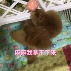 #汪星人##宠物#麻麻我拿不下来玩🤥🤥http://item.taobao.com/item.htm?id=557588985039 莎拉麻麻手工宠物零食!