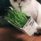 哈哈哈哈哈 贝灵笑完妈妈笑 慕斯真是太好玩了 刚种出的猫草开吃咯!#宠物#猫草链接👉🏻https://item.taobao.com/item.htm?id=559650383703