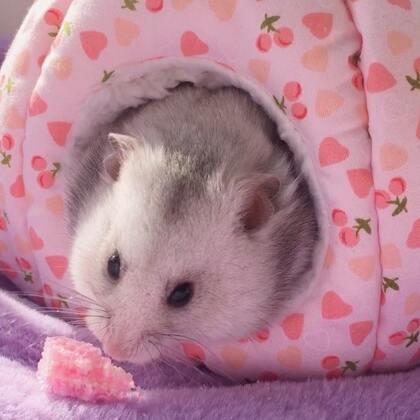 #宠物##独特萌宠##仓鼠#发现窝外有一个小饼干,赶紧叼回家!