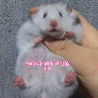 【波妞】呆呆小波妞❤️#仓鼠##胖忆和狗蛋的仓鼠们#