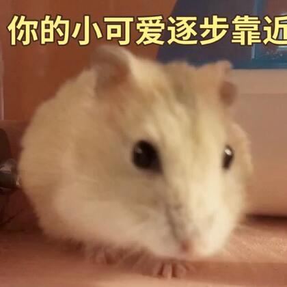 最后的#寵物#顺耳!太可爱了 (T▽T)#仓鼠#