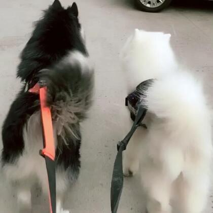 最近俩孩有点烦躁…哈哈#宠物#