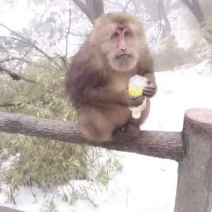 猴子成精了!