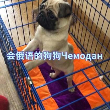 #萌宠##宠物狗狗# 一只生活在中国会俄语的八哥🐶,我平时都用俄语和他说话,所以他听得懂,哈哈哈😂我觉得我应该再教教他普通话。他叫:Чемодан ,不问度娘你们猜什么意思?😁