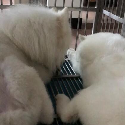 #宠物##萨摩耶#🔅summer🔅这俩狗太欺负人了,大清早就秀恩爱...