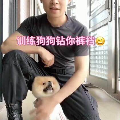 训练狗狗钻你裤裆😄#宠物##狗狗训练##我要上热门#