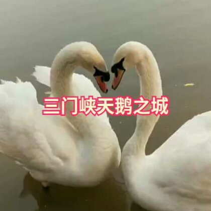 #羞答答的玫瑰静悄悄地开##天鹅##天鹅之城三门峡#