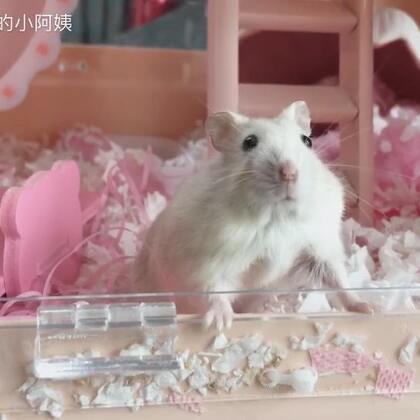 看到最后你就知道泡芙在干嘛了#寵物##仓鼠#有评论说泡芙总是在吃东西 哈哈 吃货属性就这么暴露了(•́₃•̀)