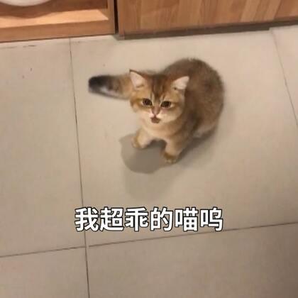 灿灿真的会说话 我需要一个猫语翻译官!我发烧了这几天今天好多了 现在还有点不舒服 等我好了更新🤒