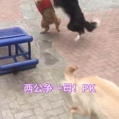 母狗发情了……两只公狗打起来了!#金毛发情##花式虐狗#