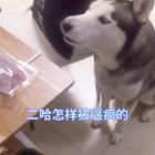 #宠物#vk气死宝宝,吃个鸭肉干都这么难