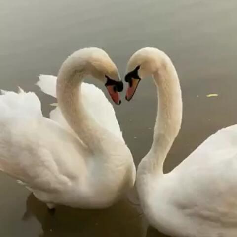 【四喜麻麻🌺美拍】两只会跳舞的天鹅么?哈哈#宠物#...