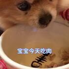 吃素小伙开荤啦~~吃肉肉也很香🌹祝大家女王节快乐😋都收到礼物了吗😊#宠物##宠物界吃货##坚强的仔仔#