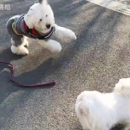 #宠物#四喜被麦朵牵着被动跑😂他把旺旺弄得在地上打了个滚😢😢