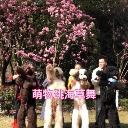 四个毛孩子跳海草舞各种搞笑😂#宠物海草舞##海草舞##宠物#@宠物频道官方账号 @美拍小助手