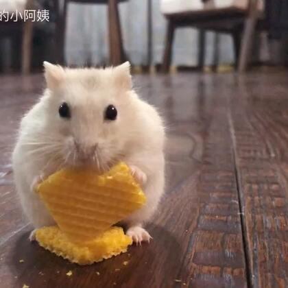 人家只是想安静吃个饭,为什么总来调戏我!(´・ω・`)?#萌宠##仓鼠##我要上热门#