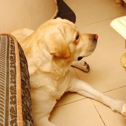 多吉追剧《美好生活》#宠物##拉布拉多##我要上热门@美拍小助手#@宠物频道官方账号