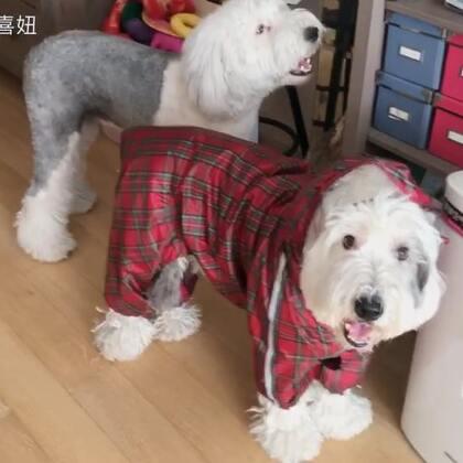 #宠物#新买了雨衣😋什么时候下雨呀🙈分别试了一下 合身 再买一件 不打架😂😂