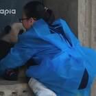 #大话熊猫#青青是个小乖乖,表现在很多地方,比如,放学不乱跑,等奶妈来抱回家~~