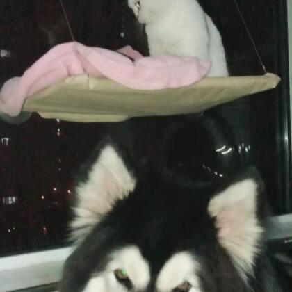 现在睡觉都要粘着狼哥了#宠物#