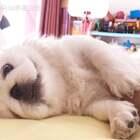 脏娃娃😘 #宠物#(土豆麻自制宠物零食)http://shop.m.taobao.com/shop/shop_index.htm?spm=0.0.0.0&shop_id=117933639