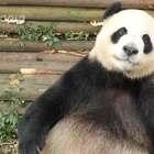 #萌团子陪你过周末#熊猫会有什么样的烦恼呢?51有话要说!