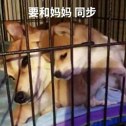 #汪星人##宠物##柴犬# 有爱!