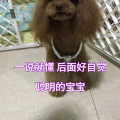 #宠物#莎拉好自觉,后面玩几下还知道要再按下叮叮,继续玩,哈哈😘😘#汪星人#http://item.taobao.com/item.htm?id=557588985039莎拉麻麻手工宠物零食
