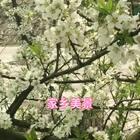 #家乡美景##精选#😜今天风和日丽,阳光明媚,带宝宝们看看我家的梨花,美不美?