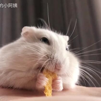 这个角度吃东西好可爱啊啊啊❤#寵物##仓鼠##吃秀#