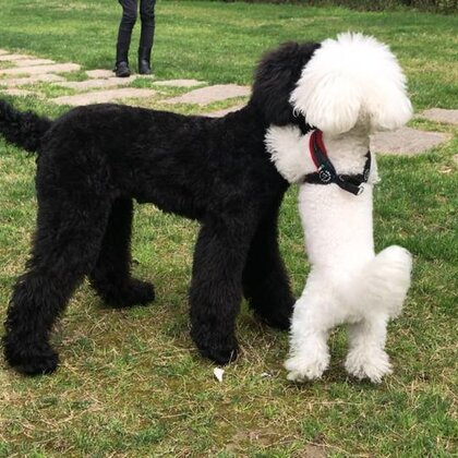 ZuZu 交新朋友Chico 😃#宠物##狗狗##萌狗狗# @Naomi&ZuZu