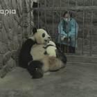 """#也就才看二十遍# """"妮妮,坐起来~"""" 熊猫真的听的懂人话,看了你就明白了~"""