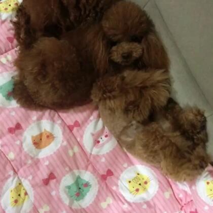 #汪星人#U莉,麻麻可能给你买了个假老婆😂😂#宠物#