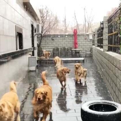 不是特效哦,是北京今天下雪了,冬天的雪春天下,七宝和66说可算是能撒欢儿了😋@宠物频道官方账号 @美拍小助手 #宠物##金毛#
