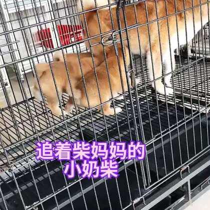#宠物##精选##柴犬#
