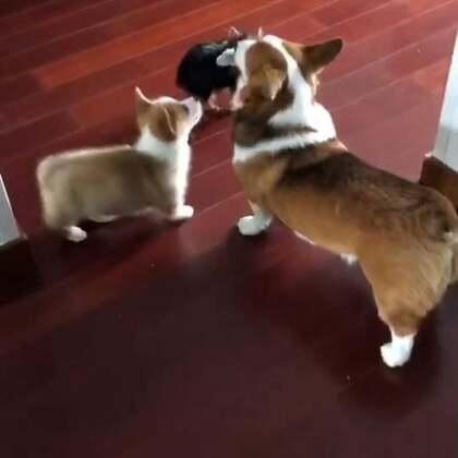 自从有了二胎(小柯基宝宝)…这个家里开始热闹咯😍#柯基##柯基犬##宠物#@美拍小助手