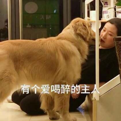 主人喝醉了回家狗狗表现#宠物##精选##金毛#