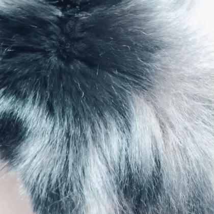 换毛季来了,😂😂塞塞的毛太长,脱掉的底绒毛会和针毛缠在一起,非常难梳#宠物##精选##你家汪星人掉毛了吗?#