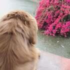 和夏天湖边看雨帘(最有夏天大黄宝宝是最好的伙伴)#宠物#