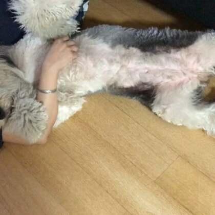 #宠物#吃完饭 粑粑躺地上空空腿儿 两个小赖孩儿就去挤🤔🤔