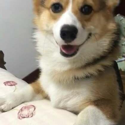 想上床来玩?求求我呀!😀❤️#柯基##柯基犬##宠物#@美拍小助手