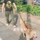 """大黄是只""""导盲犬""""😂@啸天犬教你训练狗狗 你的表演比大黄要好啊#宠物##金毛##精选#"""