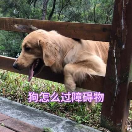 看夏天怎么过障碍物。#宠物##精选##金毛#