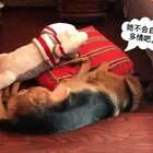 #汪星人##宠物#辛巴知道丫头不喜欢他玩那些东西、丫头一转身他立马装着睡觉。这小子太有心计了😄