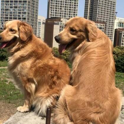 #宠物##训练狗狗##金毛#山顶看风景