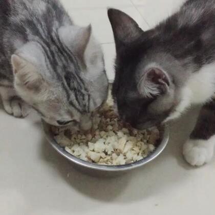 猫生第一次吃肉肉,鸡肉+鸡肝+馒头,两只小可爱吃的很欢乐~ @美拍小助手#宠物#