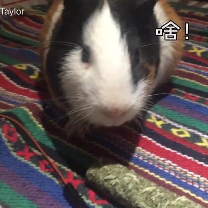 更多小宠物视频大家想看吗?猫狗还是豚鼠呢?#萌宠#