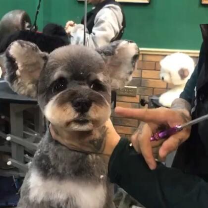 悟空小朋友,学员修剪十三叔修改作品,嘴被主人修缺了.学习宠物美容进站了解http://www.banpupet.com/http://www.banpupet.com/ #宠物#