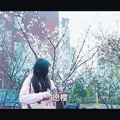 #尤克里里指弹##愿樱##i like 美拍# 樱花季限定曲目☞GIN神的【愿望的樱花】Ukulele版 🌸